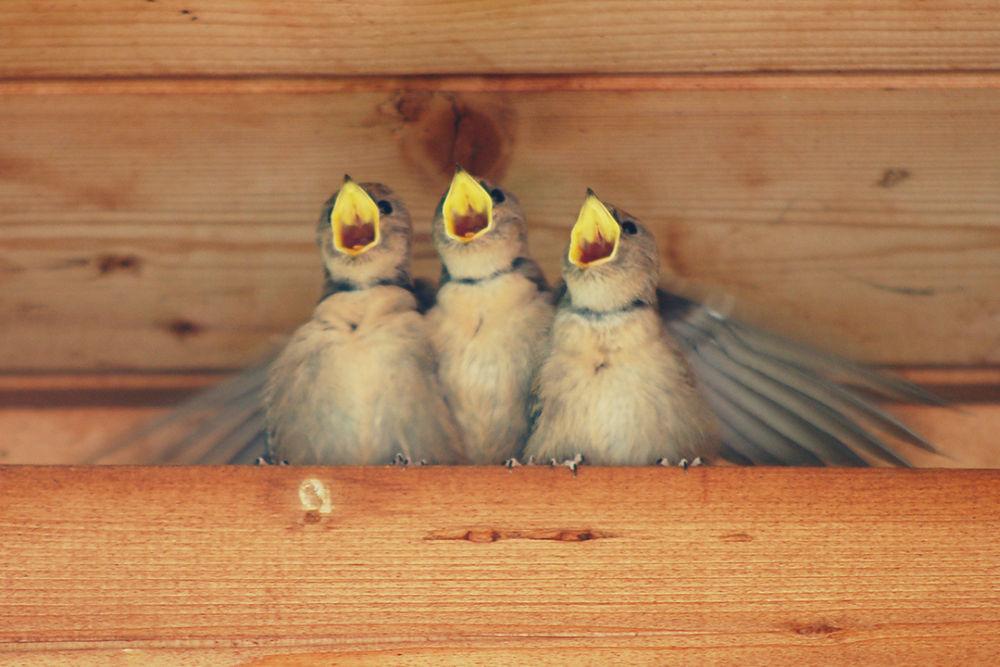 Mountain Swallows by Stefano Zago