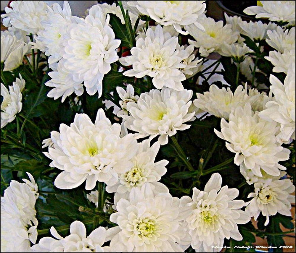 chrysanthemum by Danica Sekulic Plackov