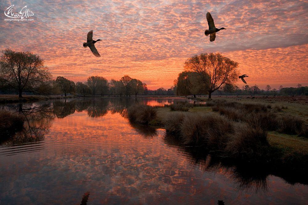 Ducks fly at dawn by Max Ellis