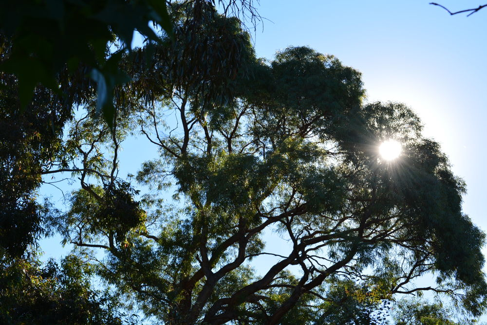 sun through the Gum Tree by snjegovic