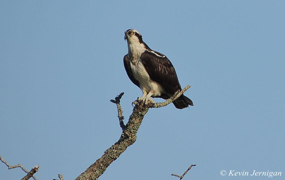 Osprey 4 by Kevin Jernigan