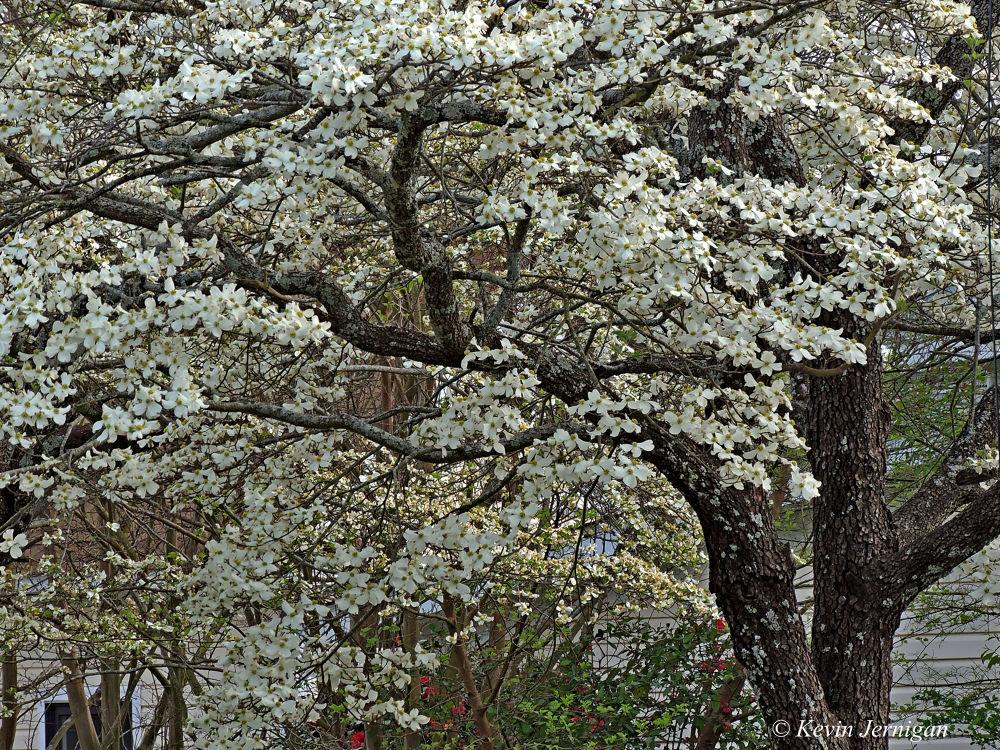 Dog Wood Tree by Kevin Jernigan