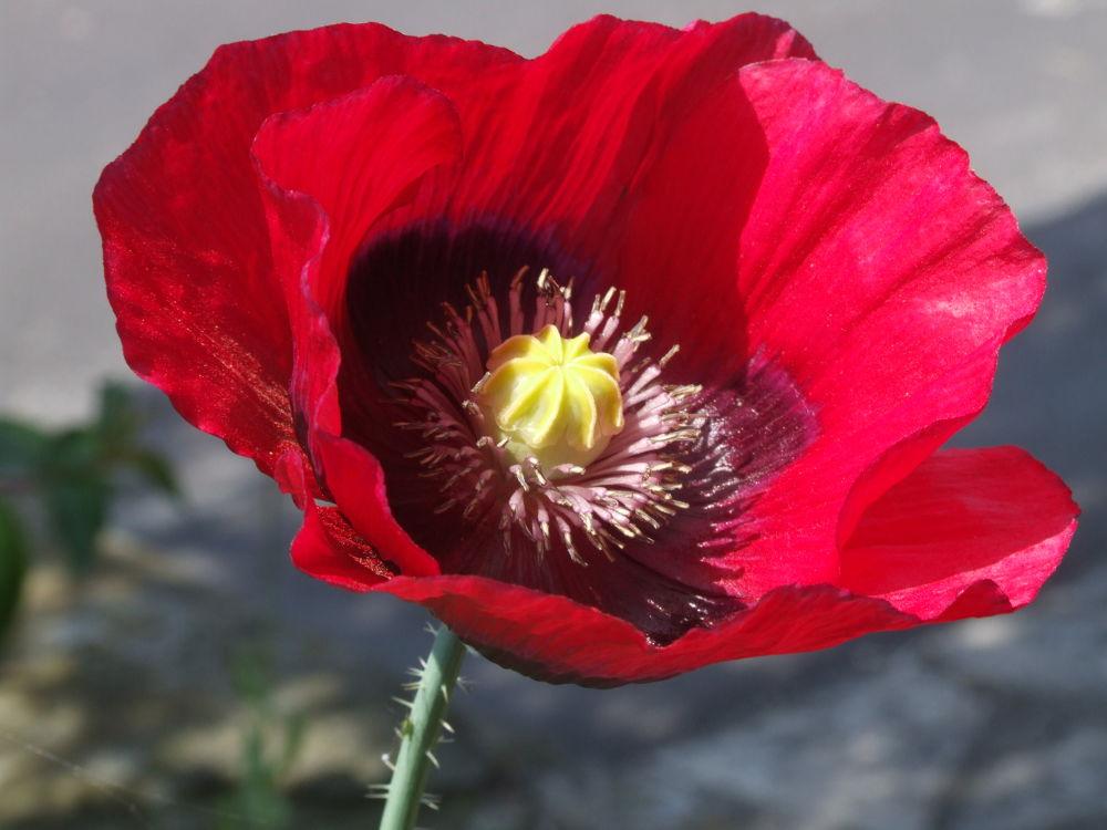 poppy  by ianwis