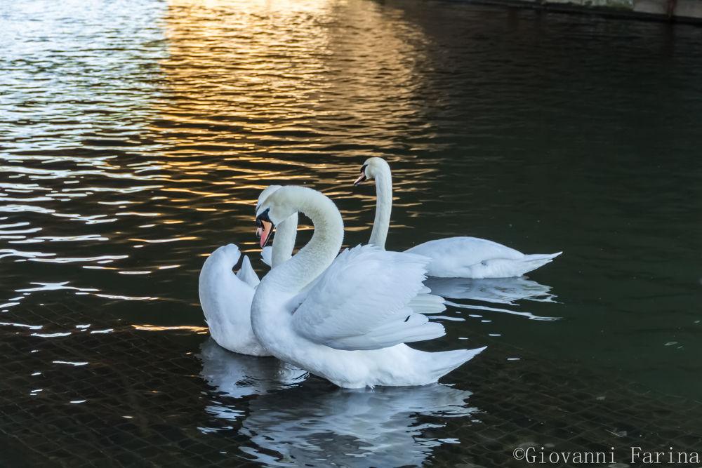 Swan 3 H by Giovanni Farina