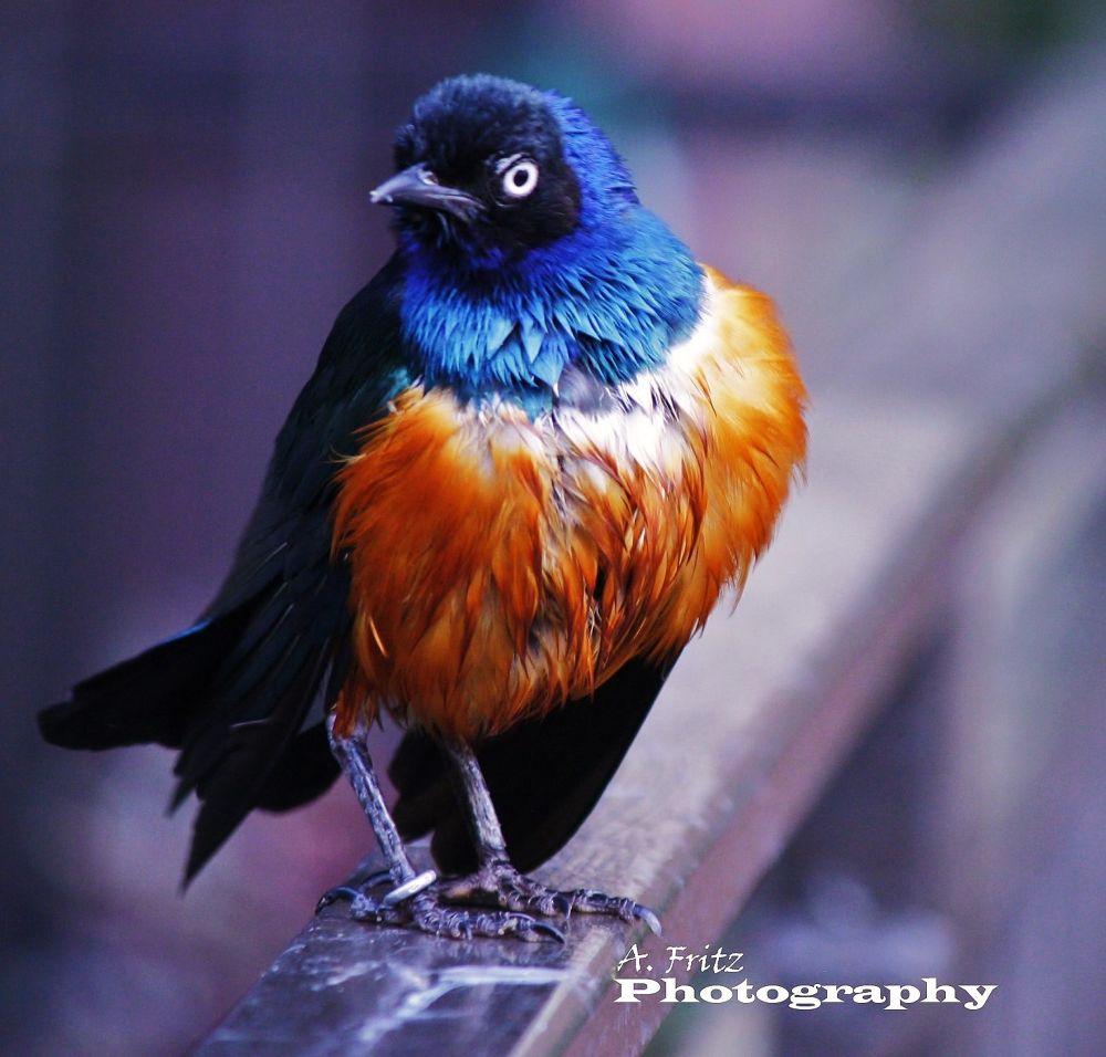 Royal Starling... by Allan Fritz