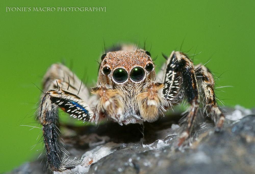 Jumper Spiders Vol2 by yoniearliandisetiyawan