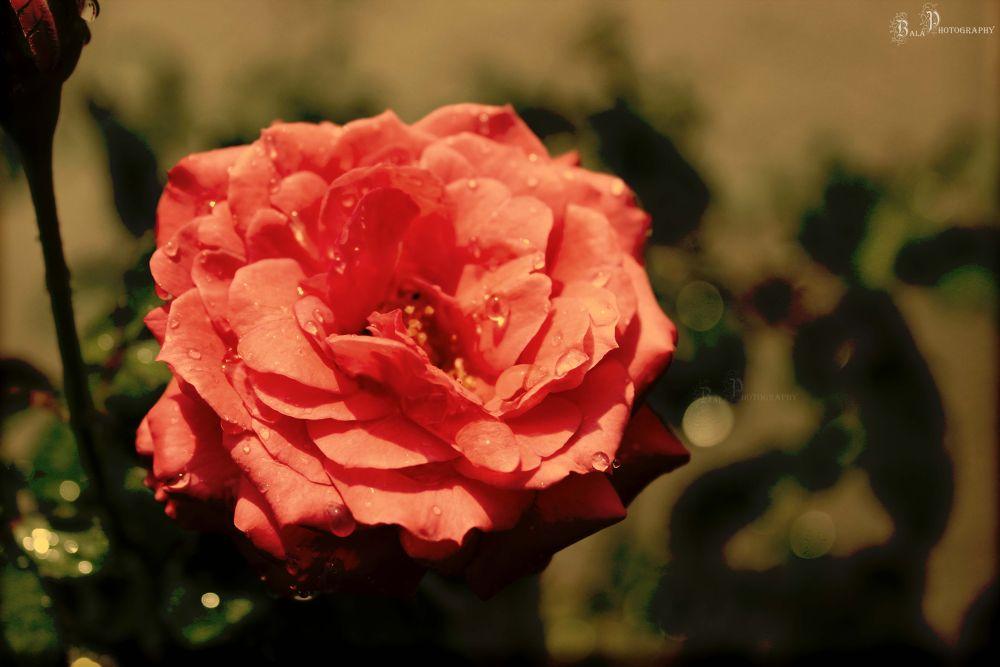 Rose-IMG_4843 by balaananth