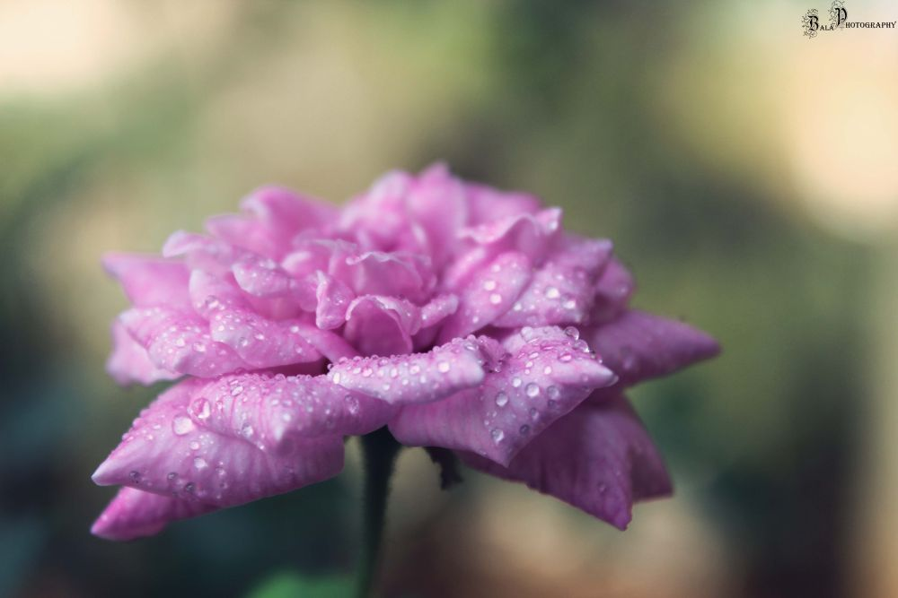 Rose-IMG_4827 by balaananth