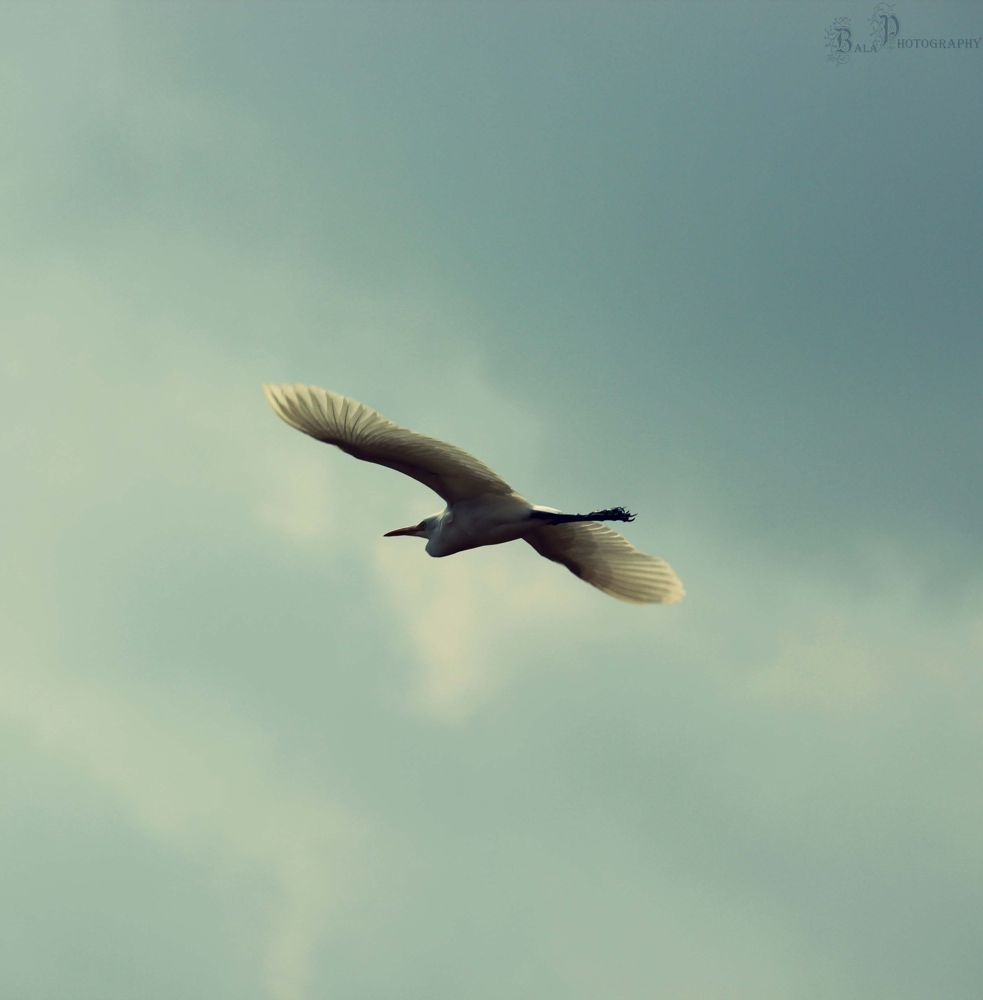 Bird-IMG_1434 by balaananth
