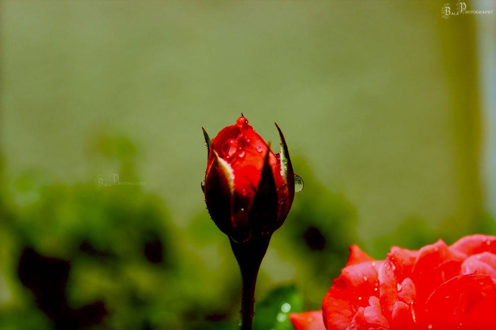 Rose-IMG_4841 by balaananth