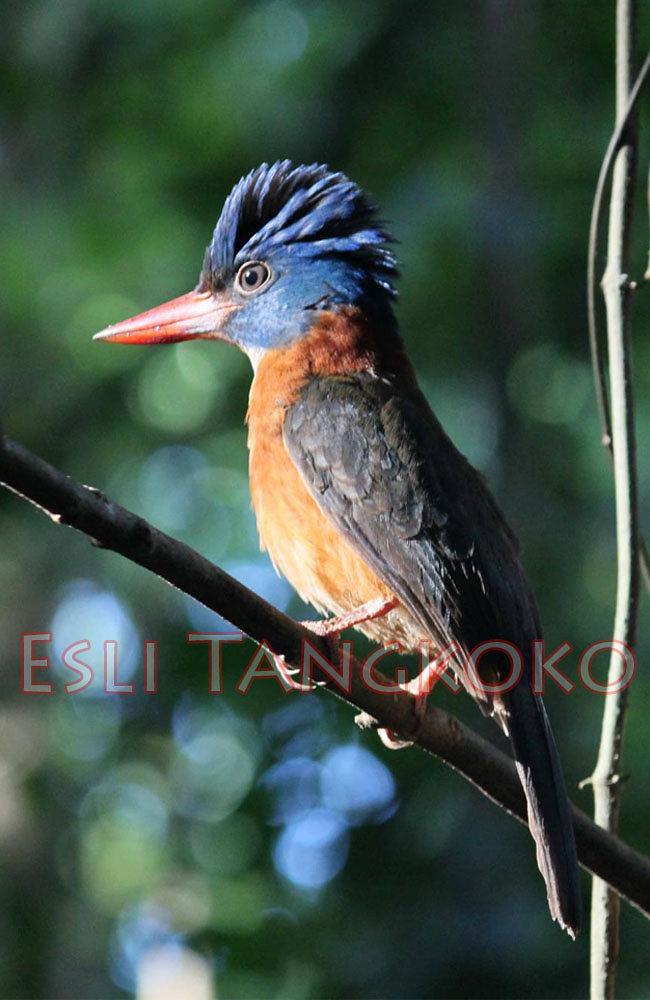 Green-backed Kingfisher by Esh Lee Tangkoko
