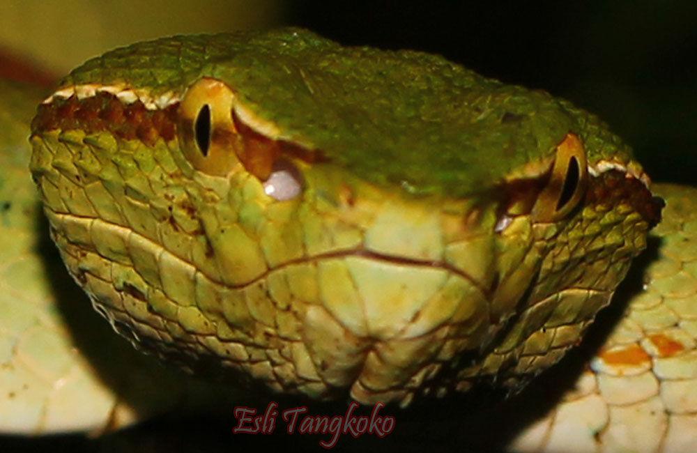 Green Viper by Esh Lee Tangkoko
