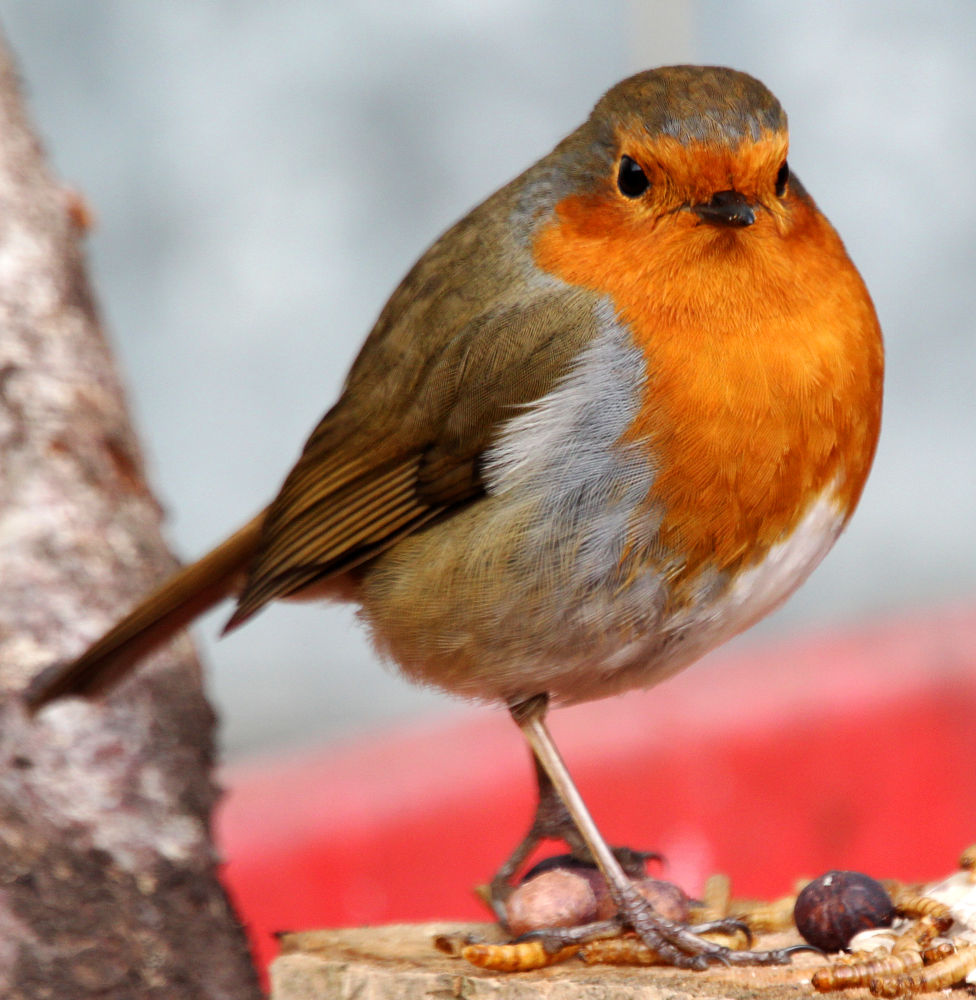 Robin by Chris Kilpatrick