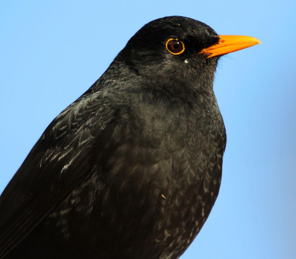 Blackbird by Chris Kilpatrick