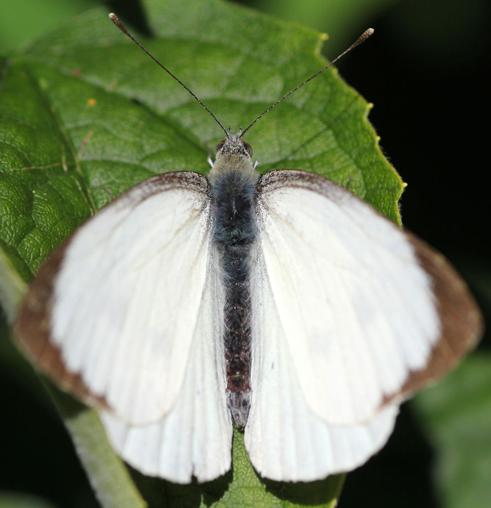 White butterfly by Chris Kilpatrick