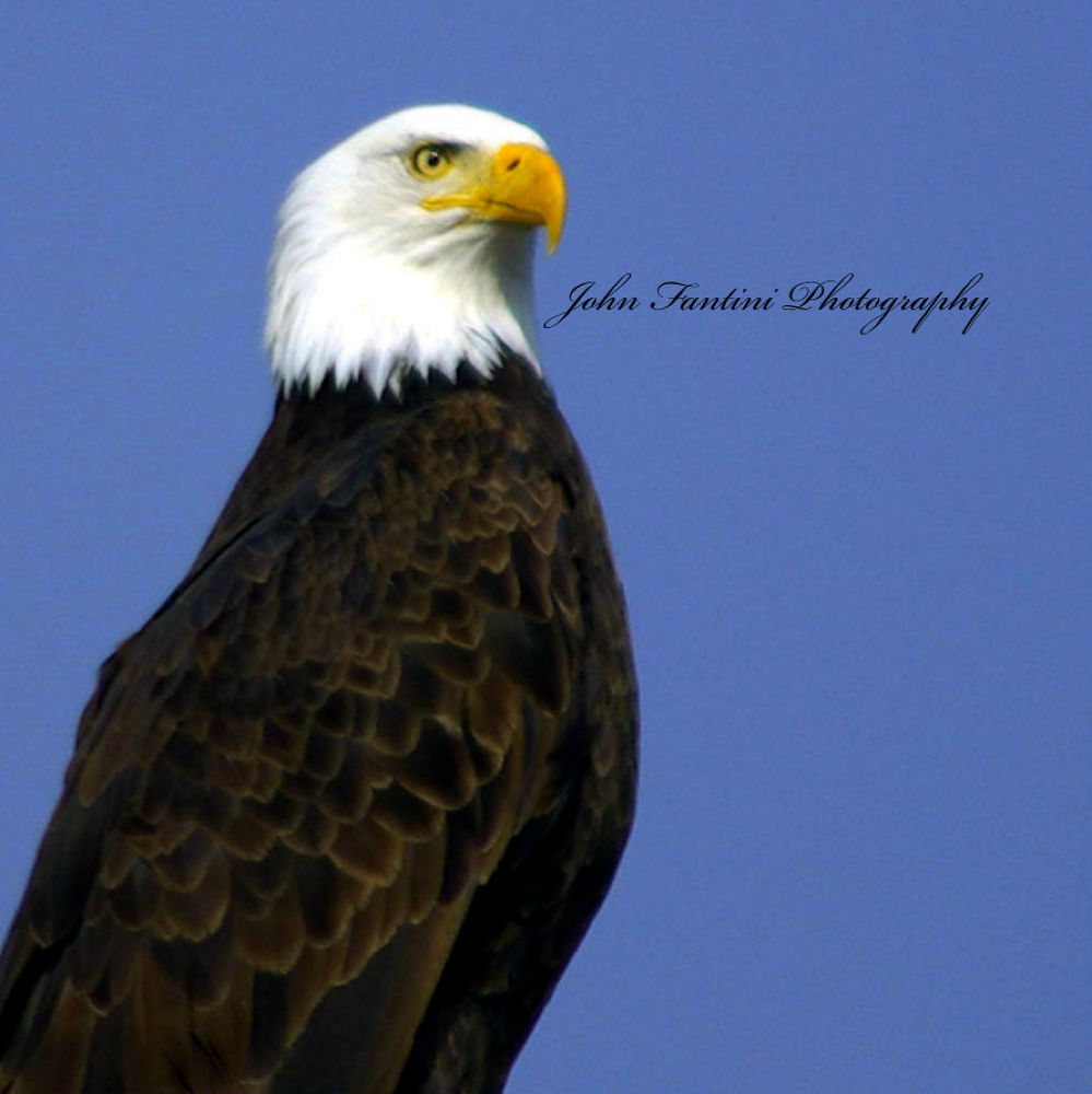 Bald Eagle 3 by JohnFantiniPhotography