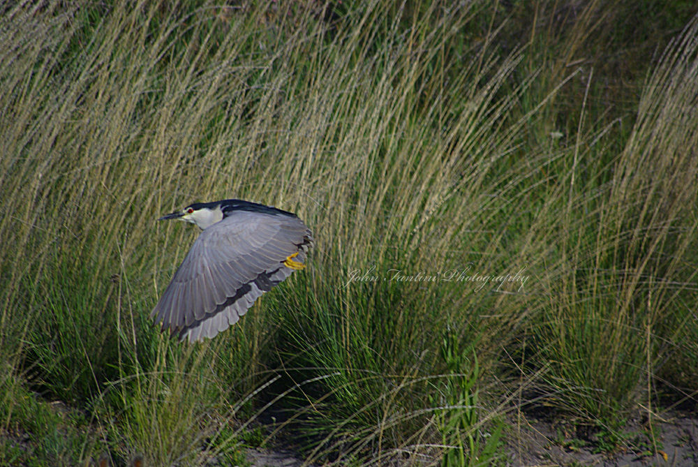 Black Crowned Night Heron in Flight by JohnFantiniPhotography
