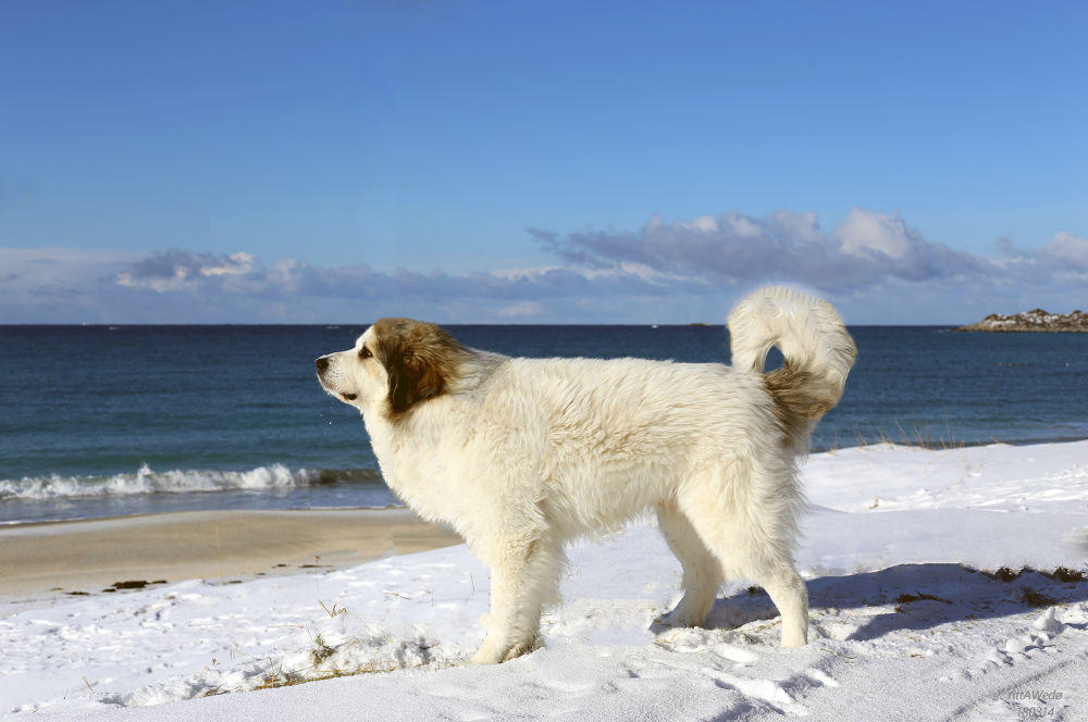 My Pyreneerdog Arox, the Great and Gentle dog by Britt Wedø