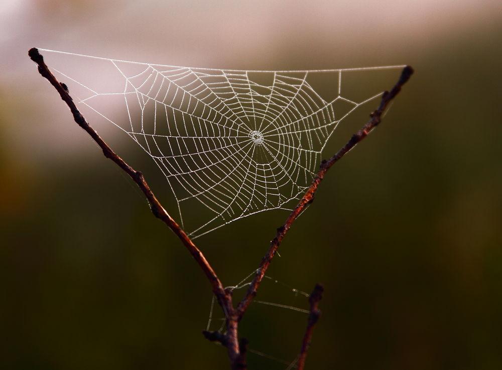 The Morning Spider . by Jan Blazek