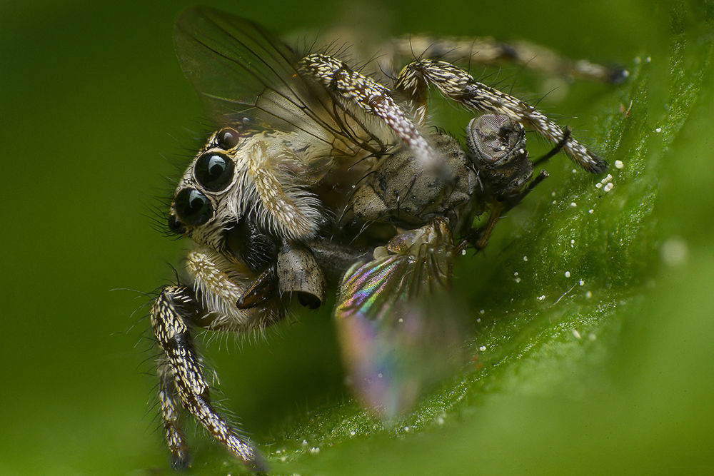 Jumping Spider by Photography-Kramer