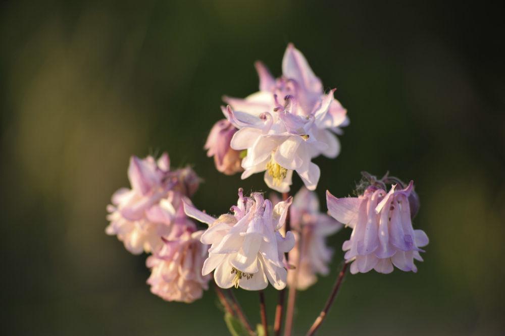 Photo in Nature #aquilegia #garden plant #pink flower #perennual #back lighting #summer #flower