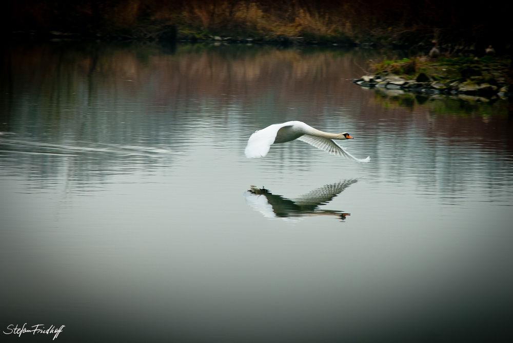 Swan... by Stefan Friedhoff