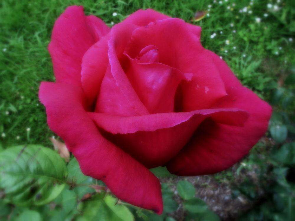 IMG_0654  la vida en rosa by angelgarcia
