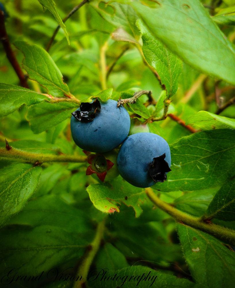 Blueberries by Ellie Mills