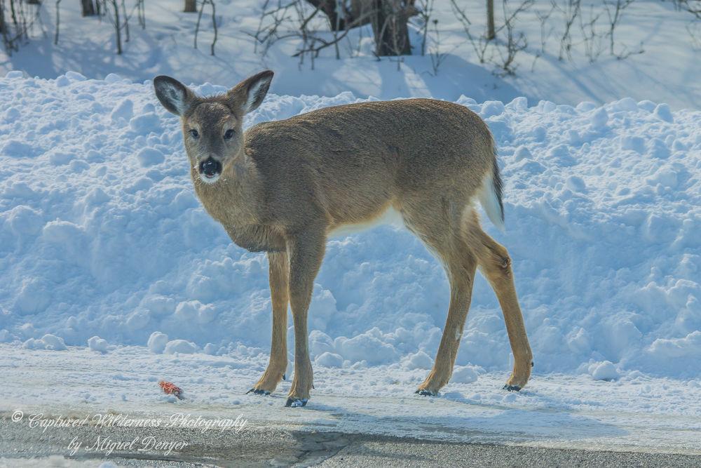 Whitetailed Deer - Odocoileus virginianus by Miguel Denyer