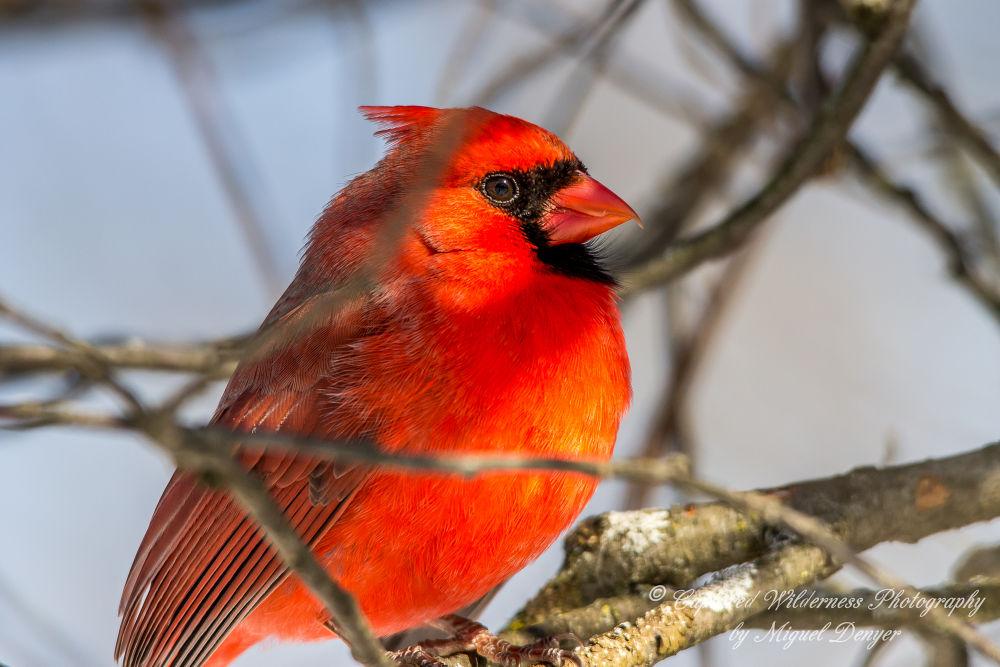 Northern Cardinal - Cardinalis cardinalis by Miguel Denyer