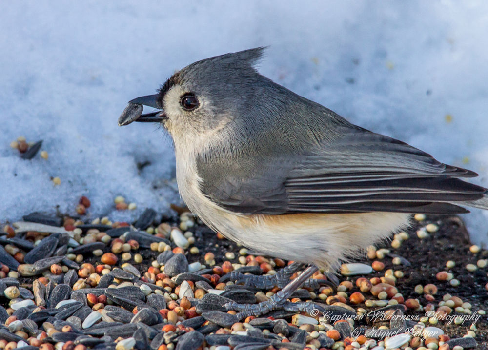 Tufted Titmouse - Baeolophus bicolor by Miguel Denyer