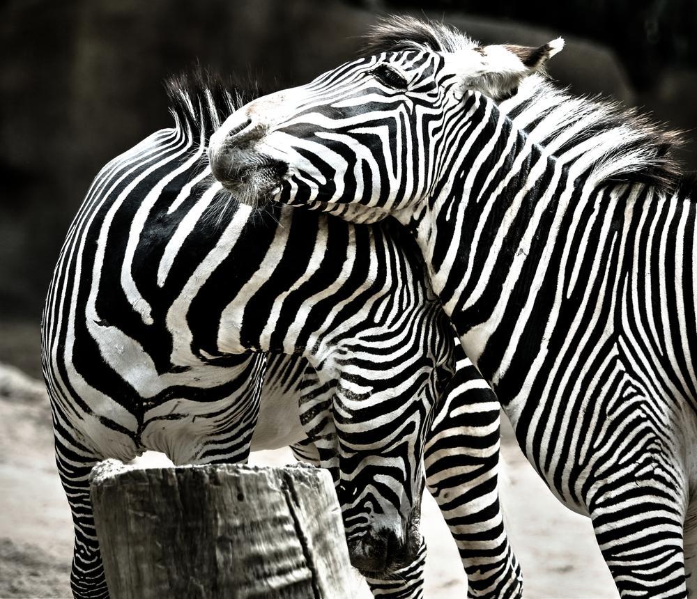 Love of Zebras by yellowstar