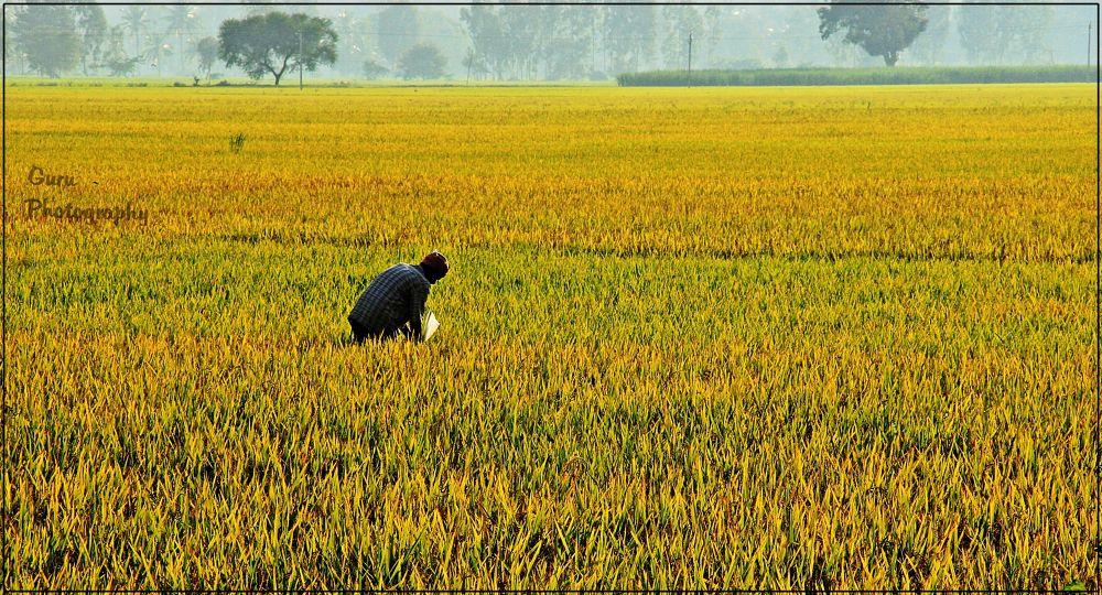 Working Man in Paddy Field  by guruprasadkr
