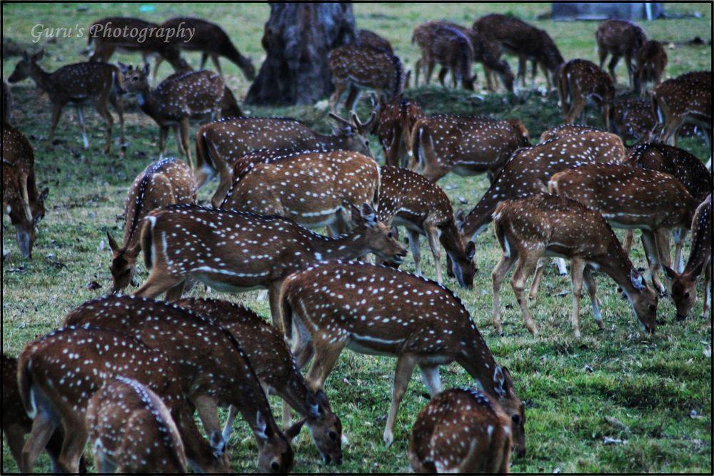 Group of Deer's by guruprasadkr