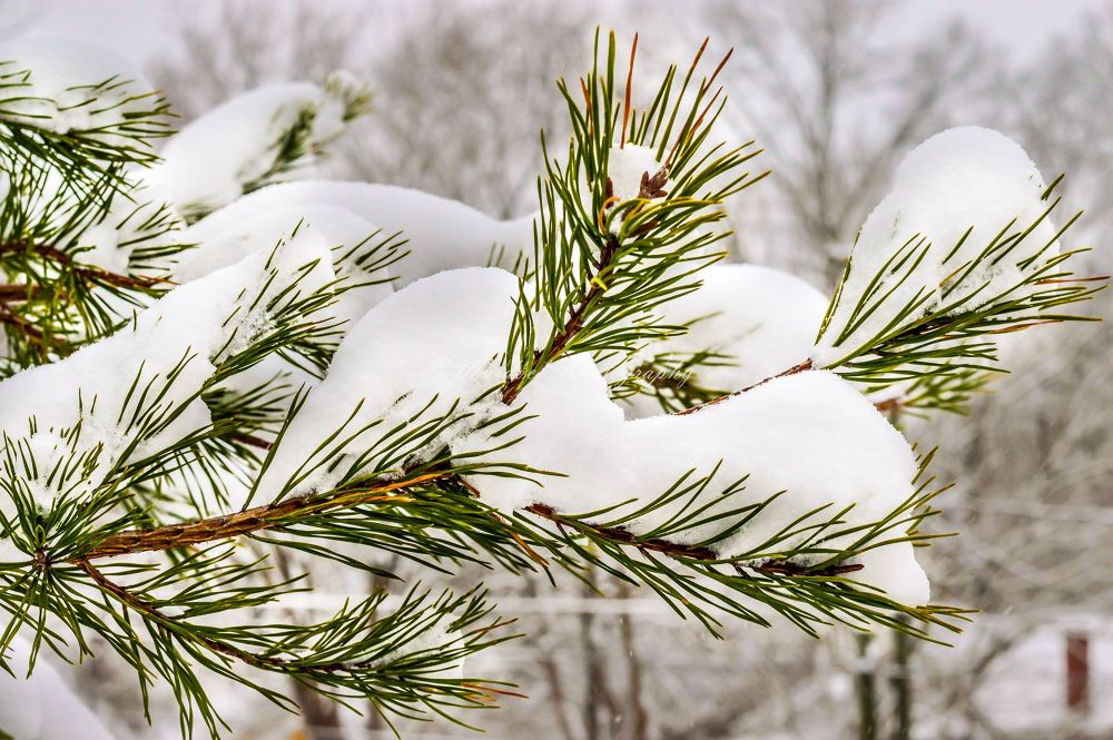 Snow on Pine by Joshua Murdock -     Murdock Photography