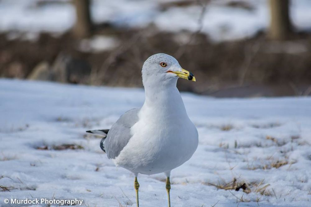 Seagul in snow by Joshua Murdock -     Murdock Photography