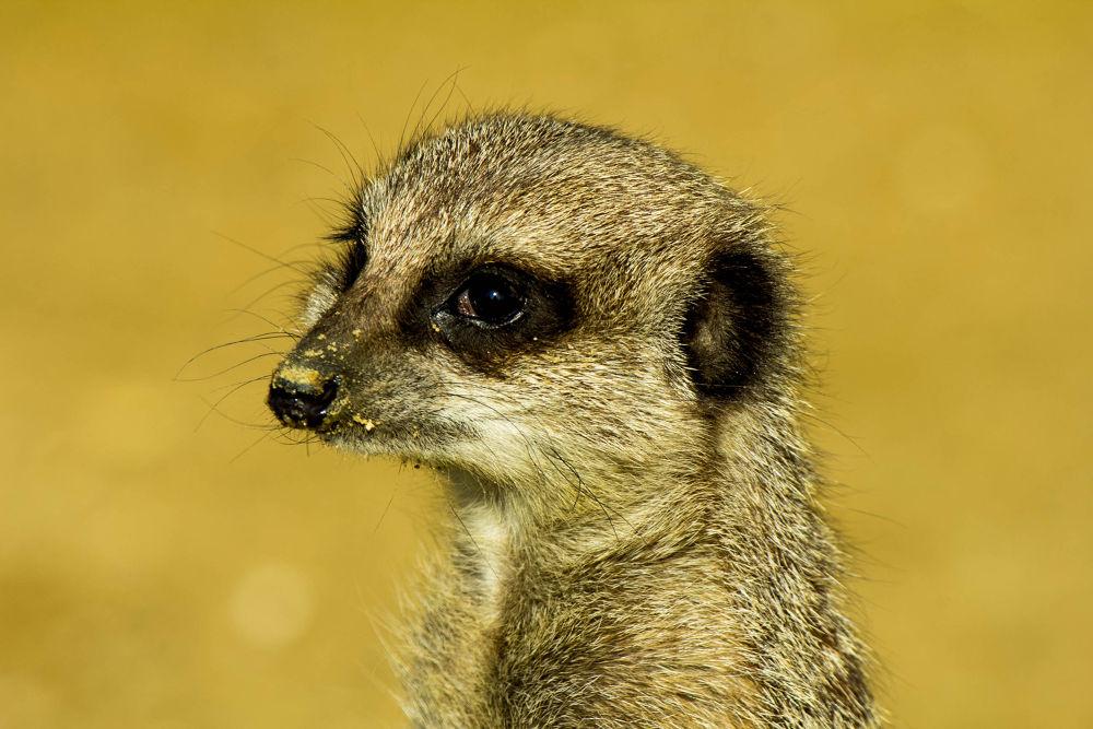 meerkat by jeff