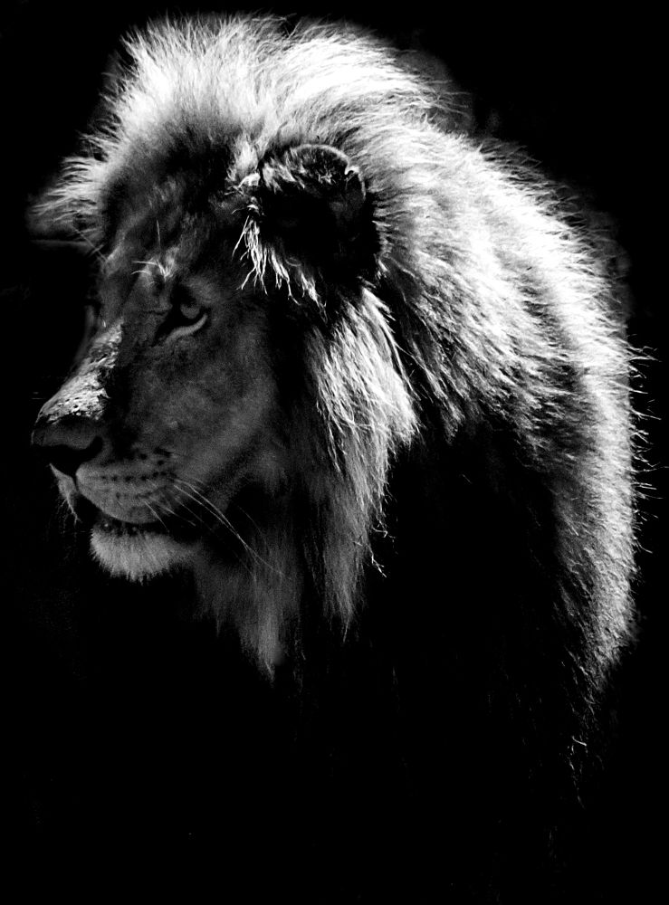 Mon_Male Lion by Chene Emmerick