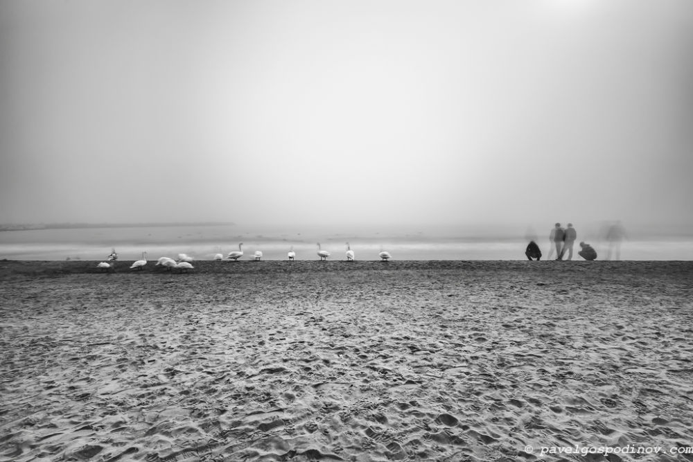 A fantastic day with swans on a beach by Pavel Gospodinov