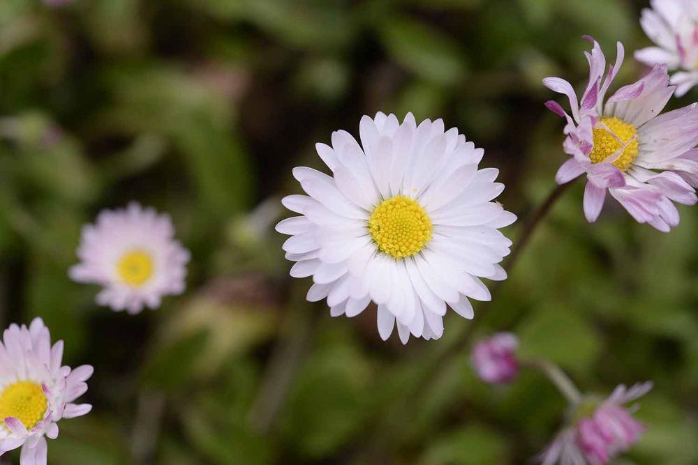 2014.03.25-Daisy in A Li Mountain, Taiwan by Yi Lin