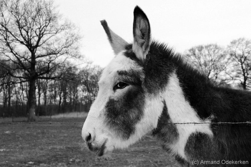 Donkey by Armand Odekerken