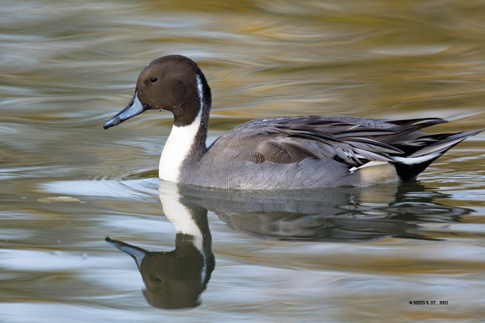 Northern Pintail by Denis Sy