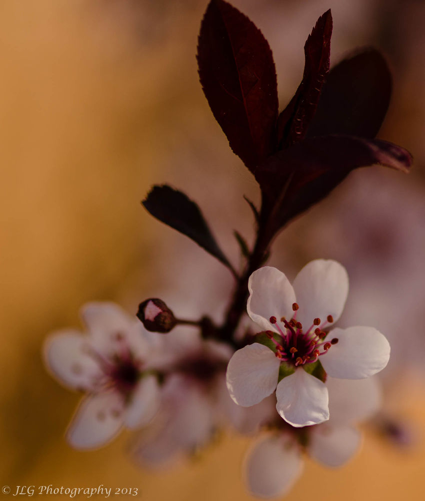 Cherry Blossom by Jim Gasco