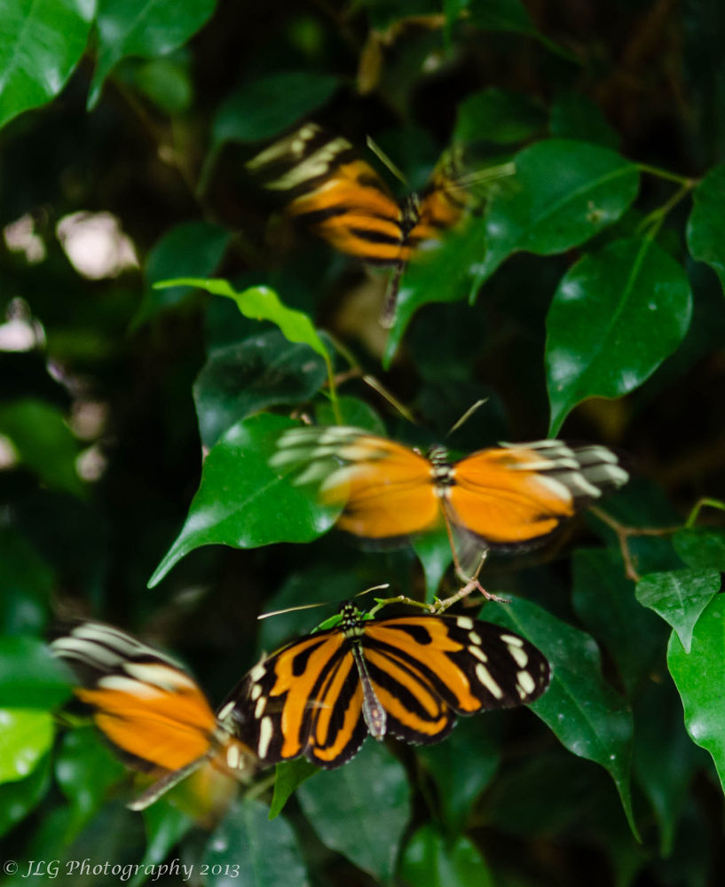 The Dance of the Butterflies by Jim Gasco