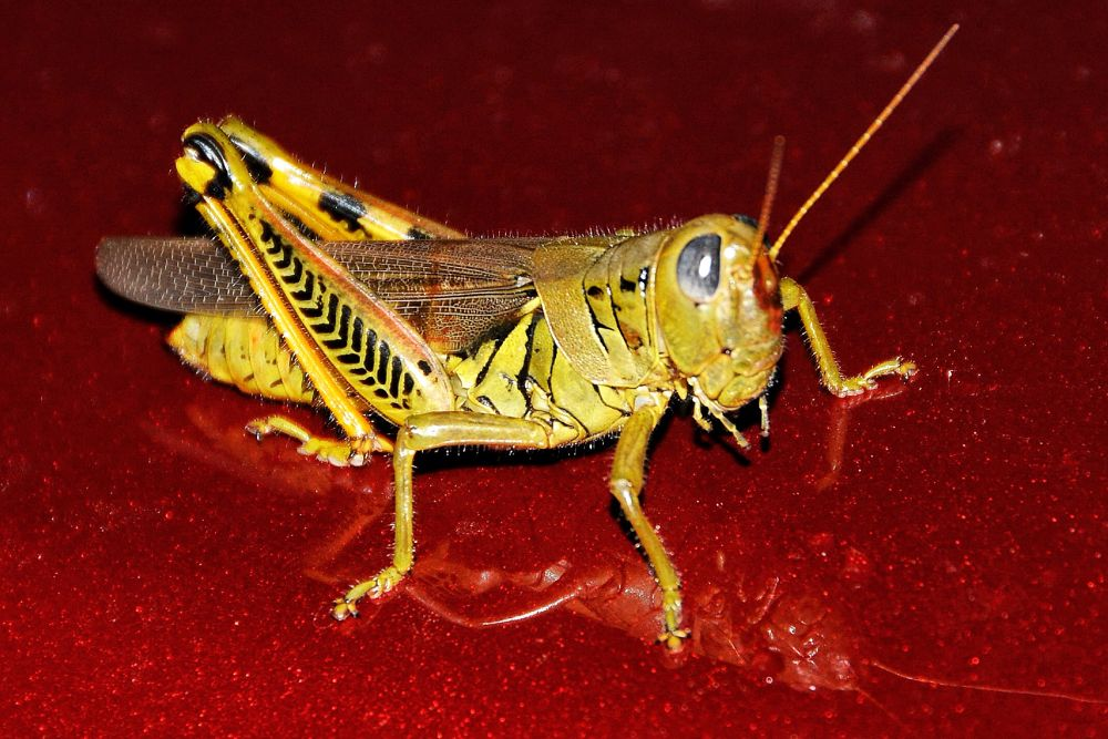 Grasshopper by boricua_ms