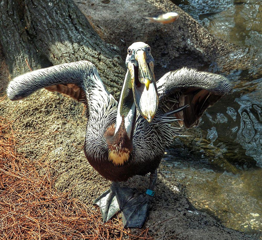 Hungry Pelican by boricua_ms
