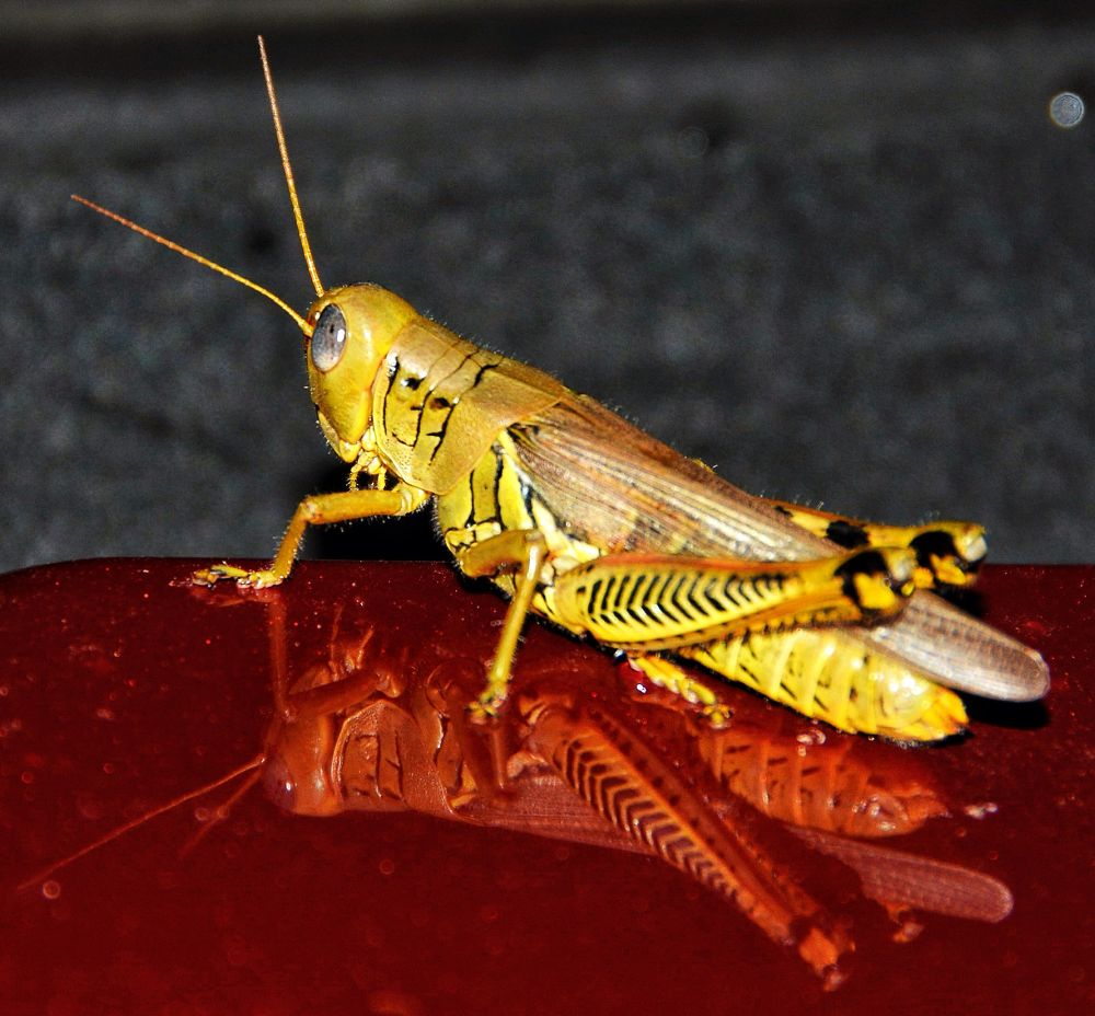 Grasshopper by boricua_ms