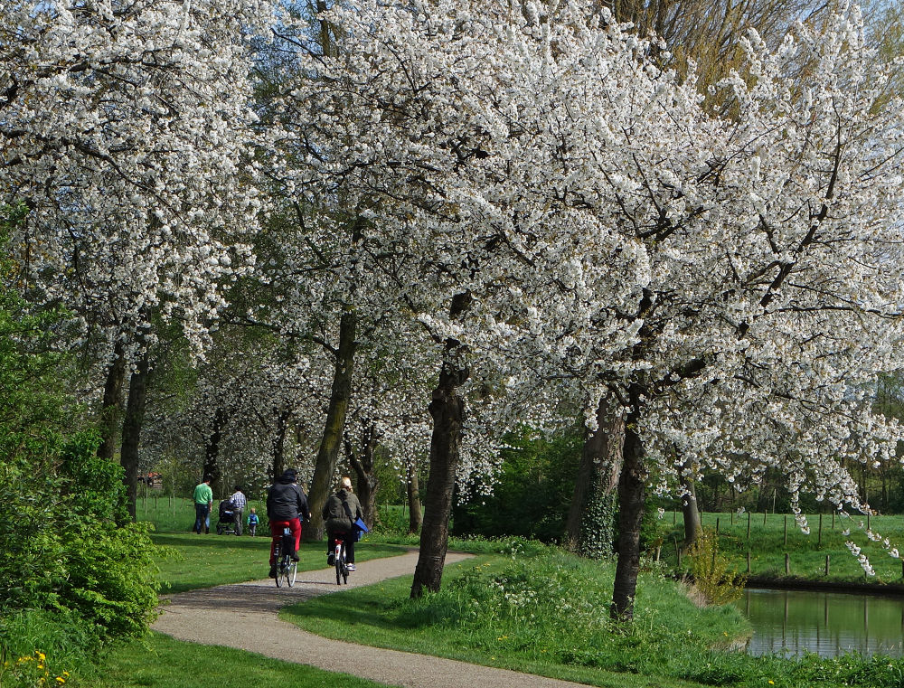 Much blossom in Odijk by zwedendejong