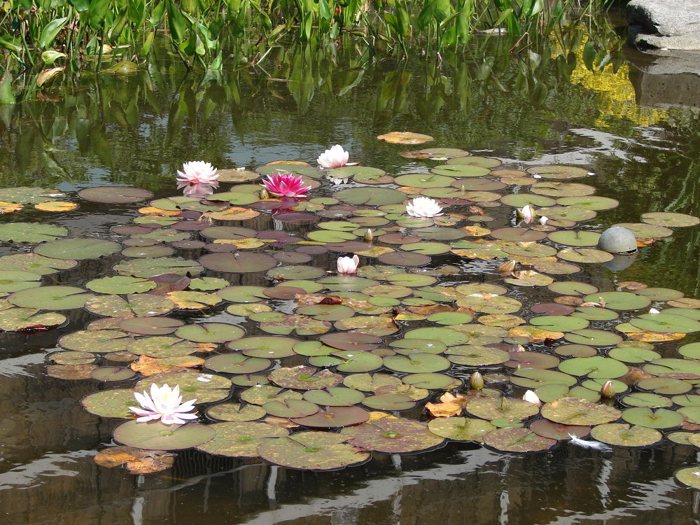 Water lilies / Vancouver  by In'aam Shahin