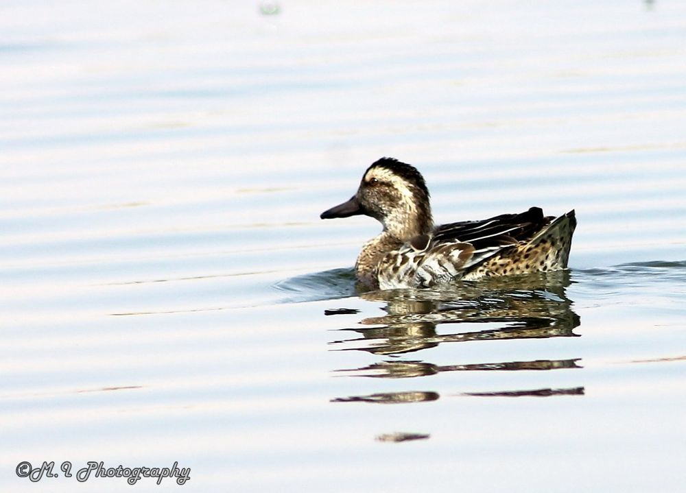 The Garganey Duck Female by Mohamed Ismael
